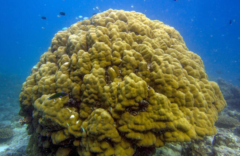 coral cpr porites1000